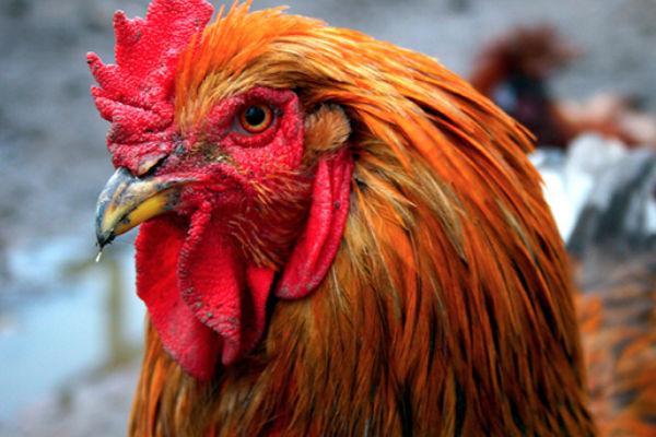 El gallo es acusado por cacarear muy fuerte