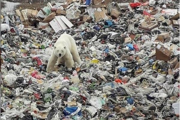 Oso polar busca comida en la basura. Foto: Reuters