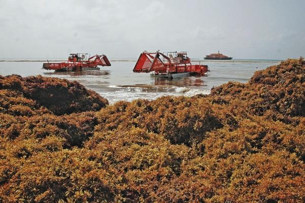 TONELADAS. Trabajadores del Gobierno limpian el sargazo de Playa del Carmen, Quintana Roo. Foto: EFE