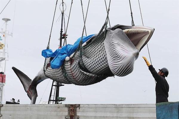 Japon-caza-comercial-de-ballenas