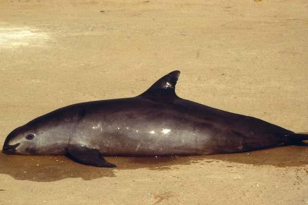 Vaquita marina riesgo peligro acido sulfurico Mar de Cortes Golfo de California