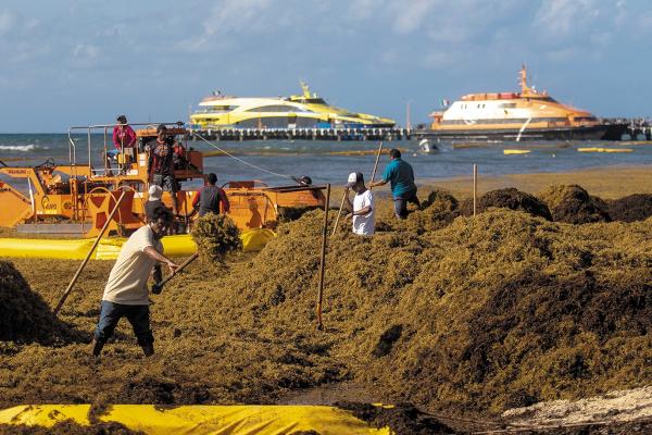 TITÁNICO. Empleados y ciudadanos trabajan durante horas para retirar toneladas de la macroalga. Foto: CUARTOSCURO.