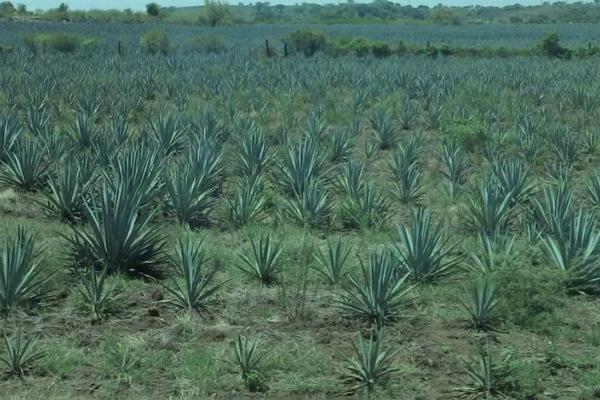 Agave utilizado para la producción de tequila en Jalisco. Foto: especial