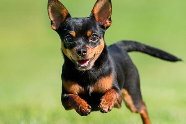 Además de el chihuahua y el xoloitzcuintle existieron otras tres especies de perros mexicanos.