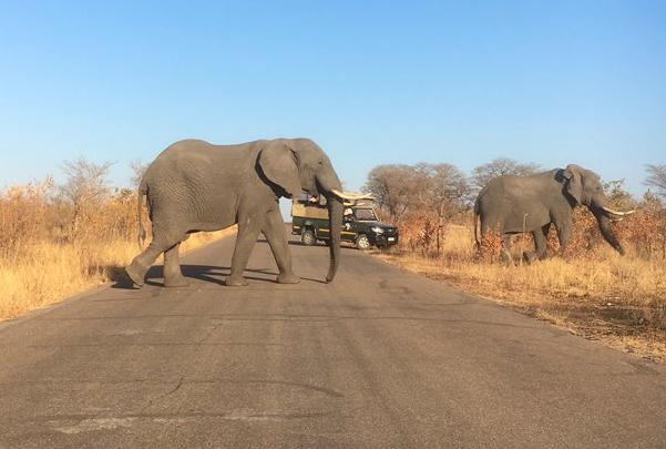 En un video difundido en redes, se puede ver como el gran elefante corre detrás del auto lleno de turistas y el conductor intenta huir. Todo sucedió en la reserva de Kruger National Park en Sudáfrica. Foto: Twitter