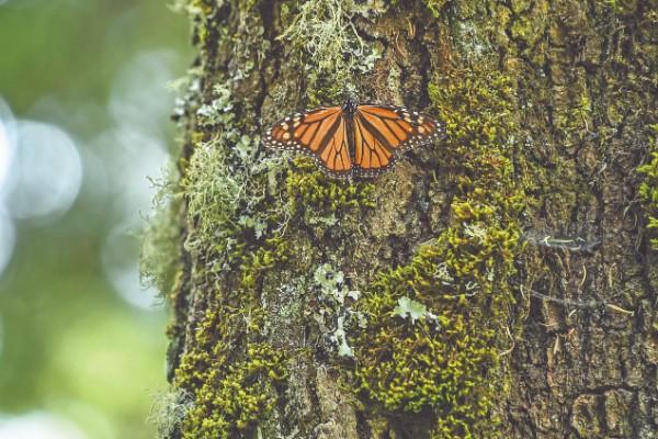HÁBITAT. Los bosques son el principal refugio de la monarca y ahora se ven amenazados. Foto: Leslie Pérez