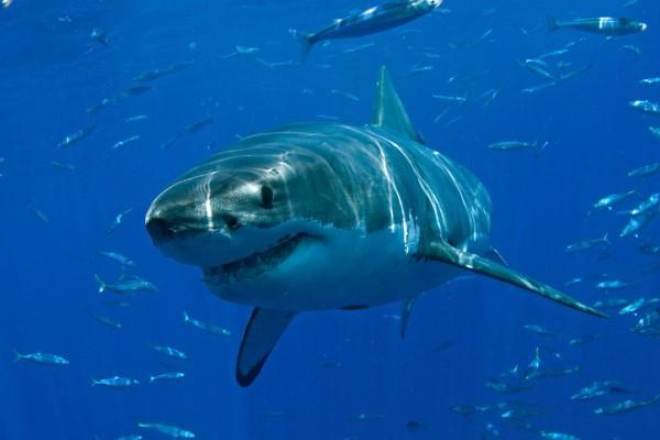 tiburón blanco nada cerca de unos niños