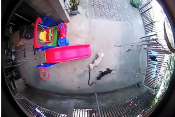 ¡Súper Heroínas de cuatro patas! Perritas pelean con cobra para proteger a bebé: VIDEO