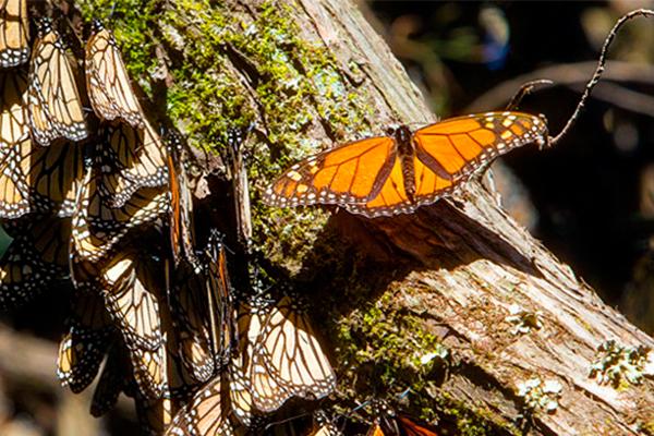Congreso_Edomex_-mariposa_monarca_deforestación_Semarnat