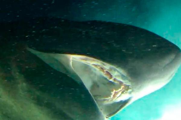 Especie_-tiburón_-antigua-_aguas_Golfo_-MéxicoA