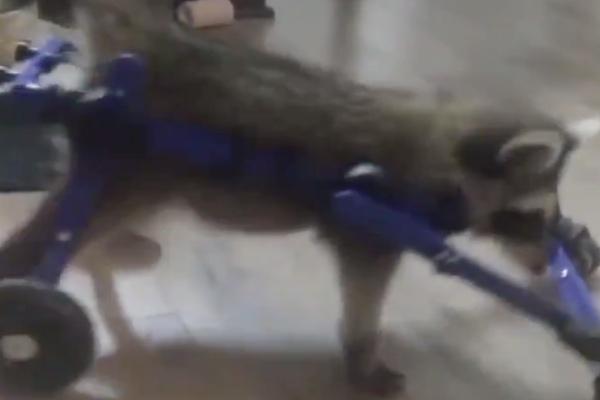 La compañía Walkin' Pets, que fabrica las sillas de ruedas para animales, dijo el lunes que se desconoce el origen de la enfermedad de la mapache Vittles. Foto: Twitter