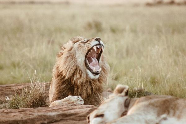 Un video compartido en Twitter muestra el festejo de un grupo de cazadores luego de disparar contra un león quemarropa. Foto: Unsplash