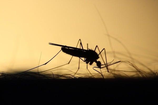 Mosco negro virus mortal enfermedad encefalitis equina