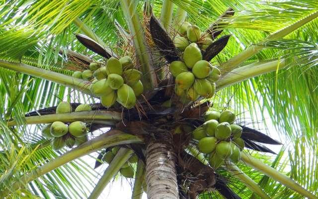 El cocotero es el de la República de árbol oficial Maldivas. Foto: Pixabay