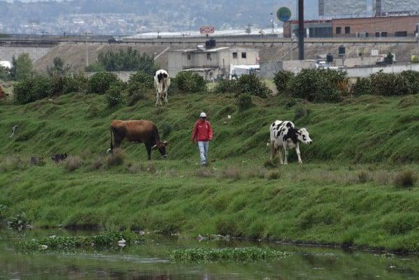 Por el clima tropical, las razas lecheras producen la mitad frente al altiplano. Foto: Cuartoscuro