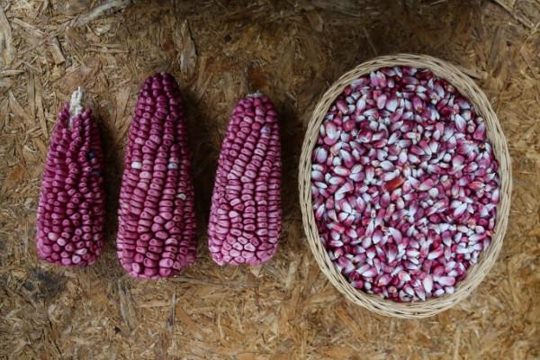 Del maíz se utiliza todo, sus hojas, sus mazorcas y sus granos, todo en cientos de maneras. Foto: Nayeli Cruz