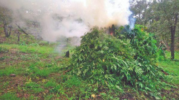 GOLPE. Sedena destruyó cinco plantíos de mariguana en 6 mil metros cuadrados. Foto: Especial.
