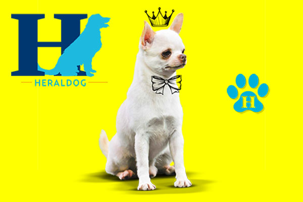 En 2015 fue ganador del Top 20 Chihuahuas competition. Foto: Heraldo de México