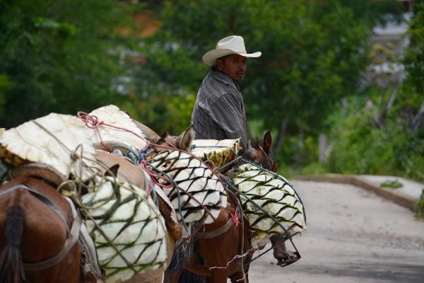 Un campesino transporta piñas de maguey para la producción de mezcal, en la sierra  de Guerrero. FOTO: JOSÉ I. HERNÁNDEZ /CUARTOSCURO.COM