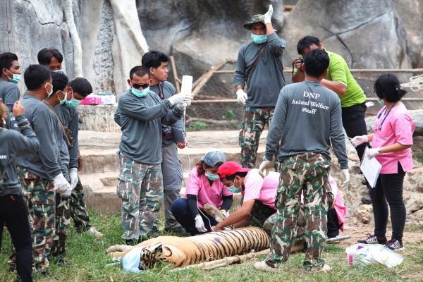 tigres_templo_budista_tailandia