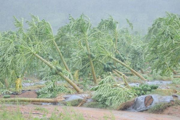 papayas_colima_lorena_huracan_campo_agricultores