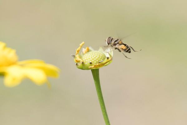 senado_abejas