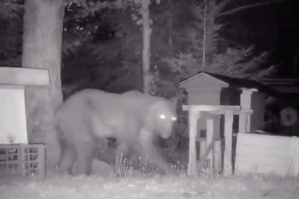 Los osos se encuentran en peligro de extinción. Foto: Especial