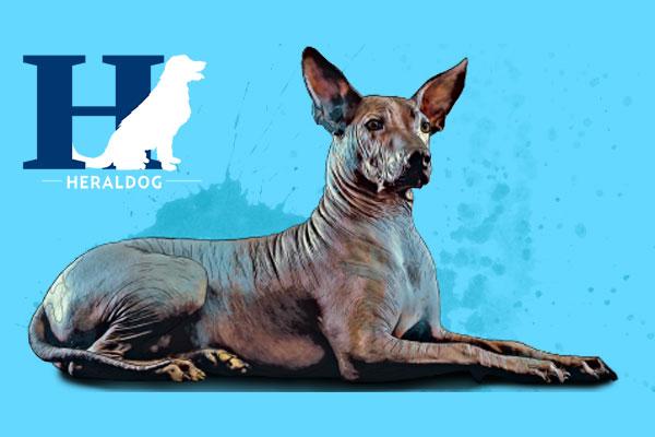 El xoloitzcuintle o xoloitzcuintlí es una raza canina prácticamente sin pelo, originario de México. Foto: Heraldo de México