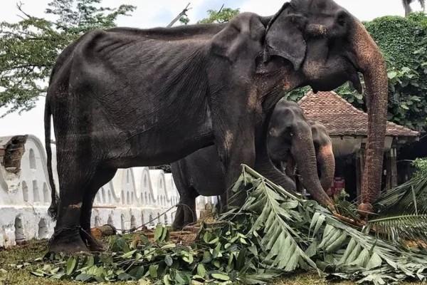 Tikiri iba a ser obligada a ir a un festival budista en Sri Lanka. Facebook: Save Elephant Foundation.