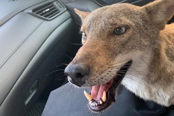 El coyote fue bautizado con el nombre de Pancho. Foto: Especial