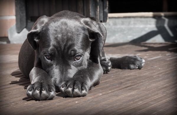 Según un estudio, los perritos no tienen la capacidad de racionalizar la ansiedad. FOTO: Pixabay