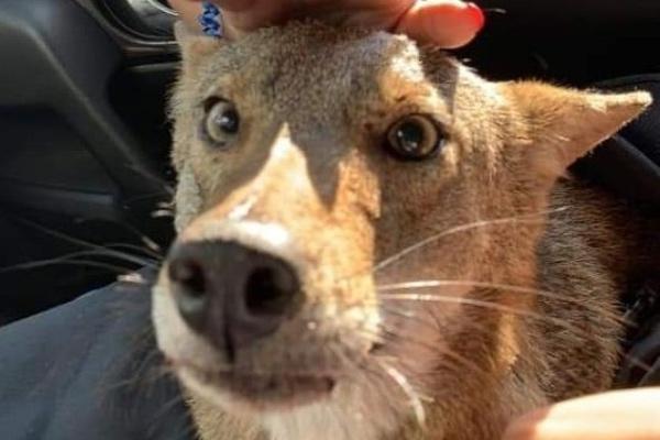 coyote_resctado_confundido_perro