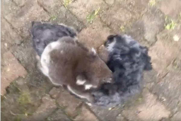 Un koala bebé se colgó del pecho del perrito. Especial