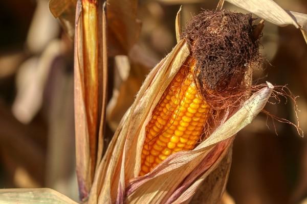 Ya se han habilitado 109 centros de acopio en el país para comenzar a recibir el grano de maíz. Foto: Pixabay