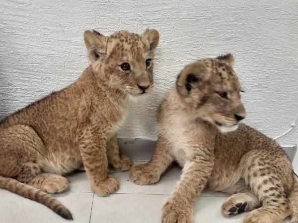 Los sujetos  pretendían vender los dos cachorros de león. Foto: Especial