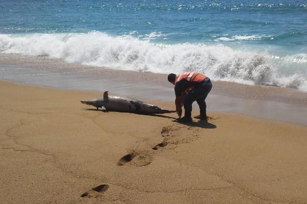 El delfín apareció muerto en la playa de Las Brisas. Foto: Especial