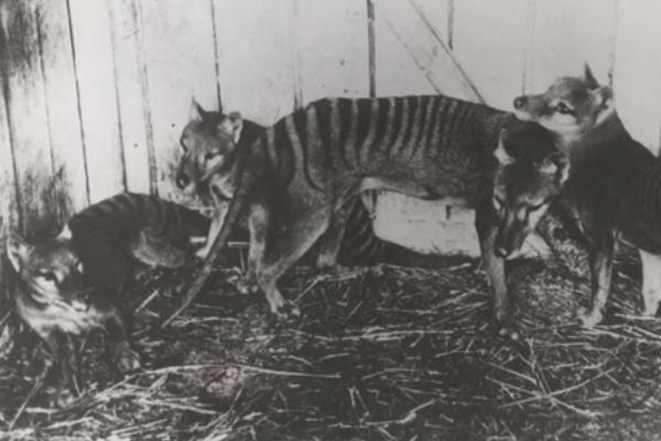 Tigre de Tasmania avistamientos Australia especie extinta