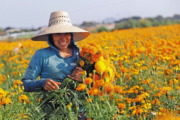 COSECHA. Productores de Atlixco realizan el corte de la flor de muerto. Foto: Enfoque