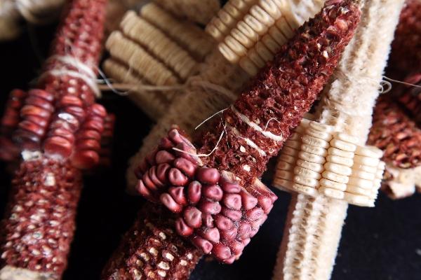La Ley Federal para el Fomento y Protección del Maíz Nativo contemplaban la prohibición de los maíces híbridos  FOTO: MARGARITO PÉREZ RETANA /CUARTOSCURO.COM