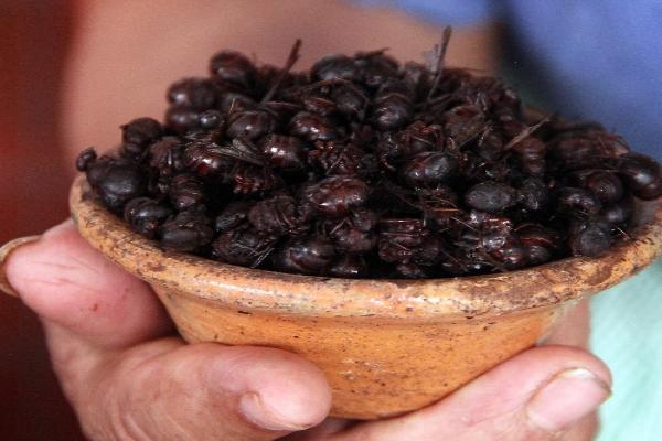 Nucú o Chicatana es una especie de hormiga, muy popular en Chiapas como un alimente recurrente en temporadas de lluvias.  FOTO. JACOB GARCÍA/CUARTOSCURO.COM