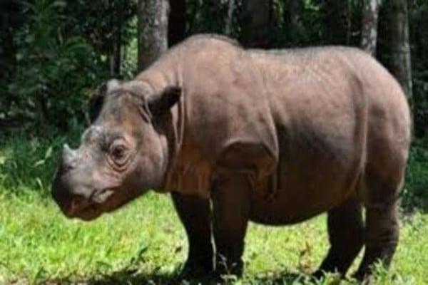 rinoceronte_sumatra_extincion_animales