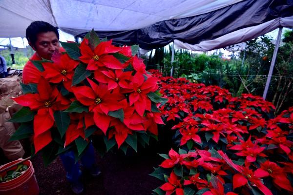 Flor-nochebuena-temporada-decembrina-navidad-abasto