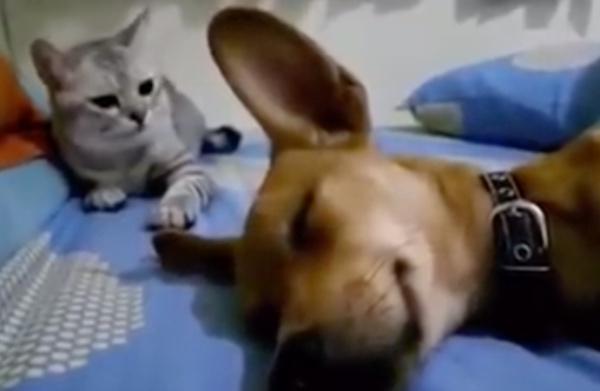 video_gato_perrito_flatulencia