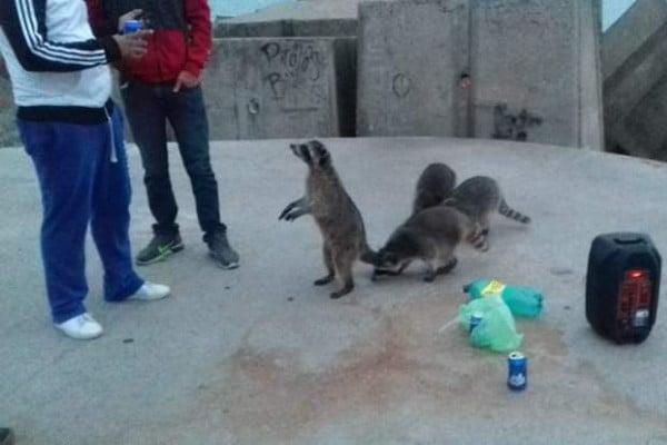 mapaches_playa_miramar_cervezas_animales