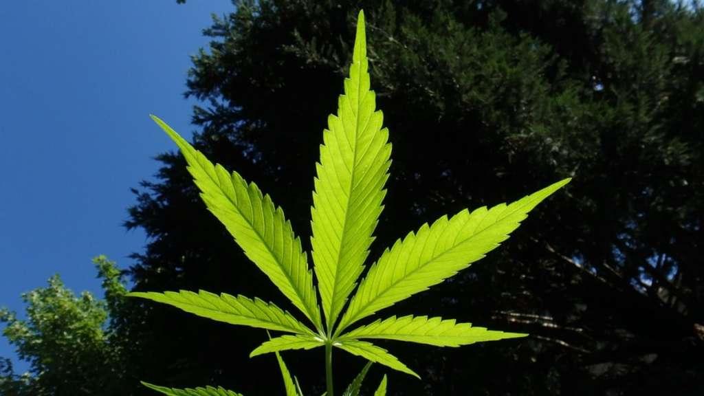 cannabis-regulacion-senado-monreal-marihuana-morena-pri