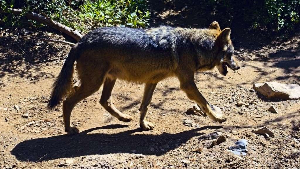 lobo-gris-mexicano-grupo-mexico-peligro-extincion-reproduccion-ejemplares