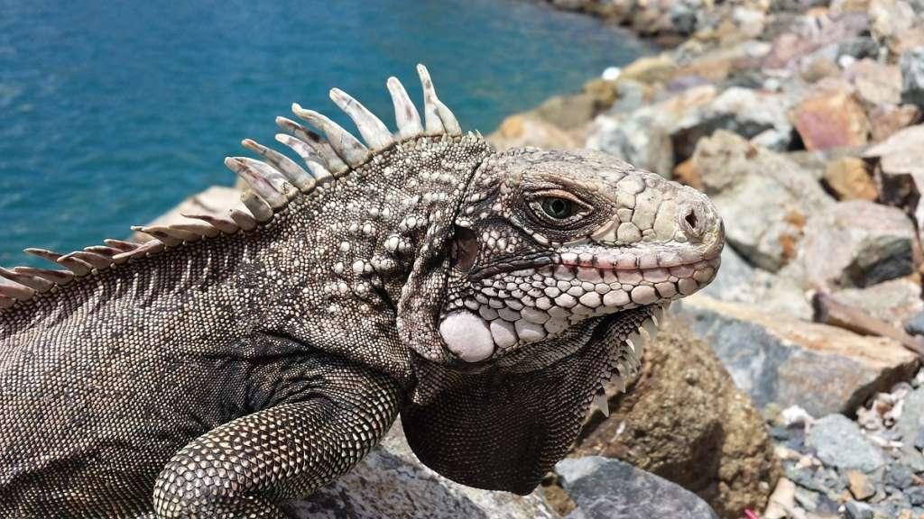 Lluvia de iguanas congeladas en Florida: Foto: Pixabay