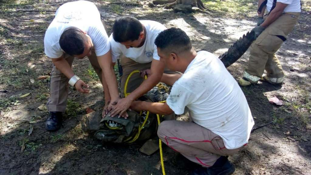 cocodrilo bomberos tampico tamaulipas canal aguas negras
