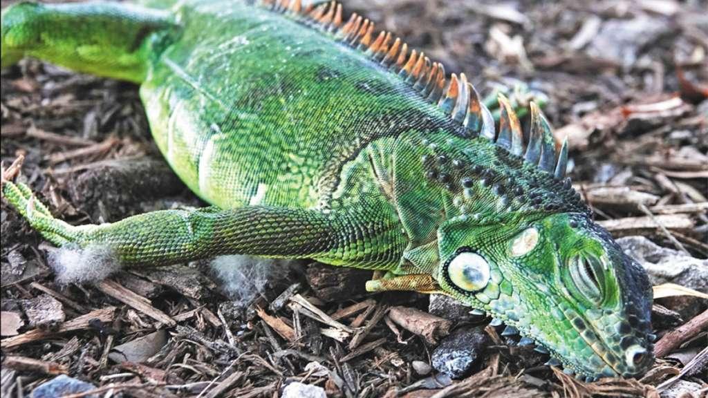 iguanas florida