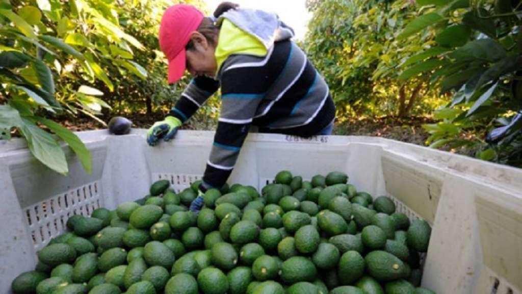 aguacate-exportaciones-estados-unidos-super-bowl-michoacan-record-industria-aguacatera-guacamole